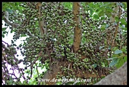 Fig trees are popular with birds and animals alike