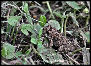 Tiny Raucous Toad