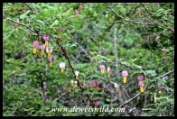 The flowers of the Sickle Bush