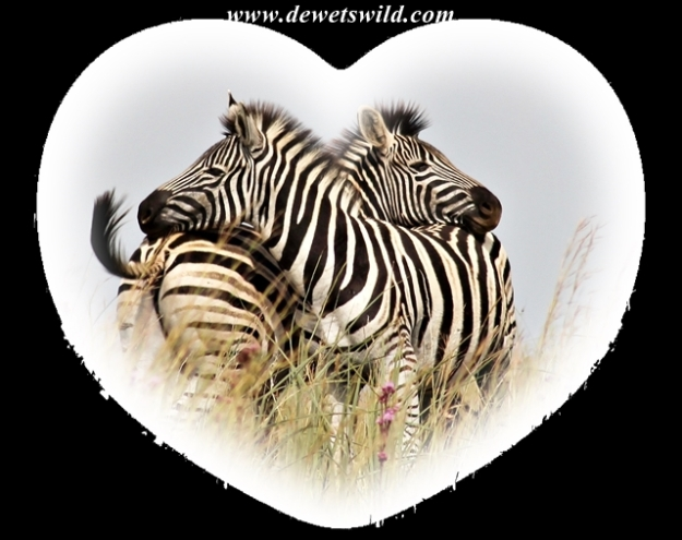 Zebra Valentines 2014