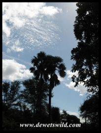 Palms at Crooks Corner