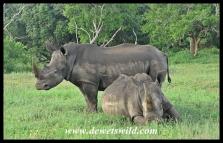 White Rhino (12)