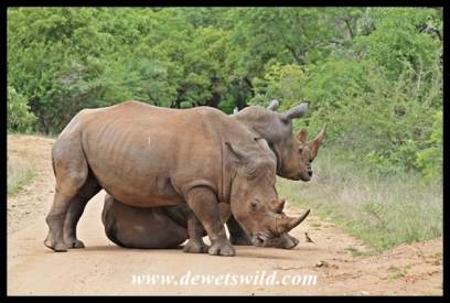 White Rhino (2)