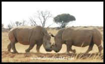 White Rhino (8)
