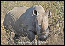 White Rhino (9)