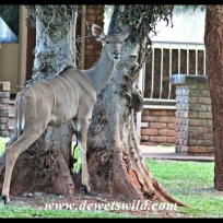 Kudus roam freely through the resort