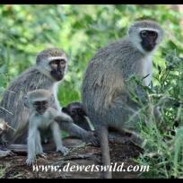 Vervet family