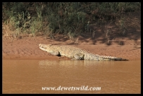 Monster crocodile on the bank of the Luvuvhu