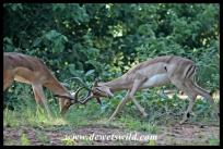 Dueling impalas