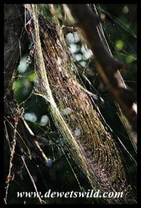 Golden Orb Web spider web