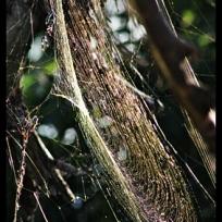 Golden Orb Web spider web