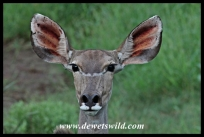 All ears! Kudu cow.