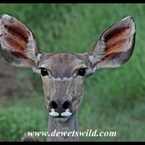 All ears! Kudu cow.