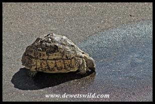 Thirsty Leopard Tortoise