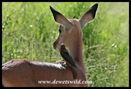 Immature red-billed oxpecker on juvenile impala