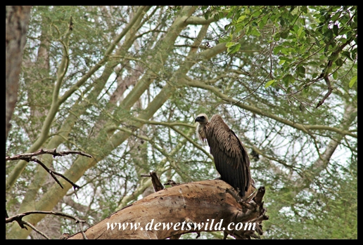 White-backed vulture in fever tree forest