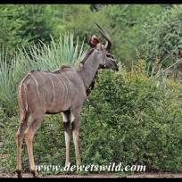 Juvenile kudu bull