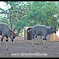Nyala showdown