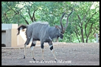Nyala showdown