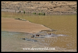 Crocodile and hippo sharing the Shingwedzi