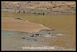Crocodile and hippo sharing the Shingwedzi