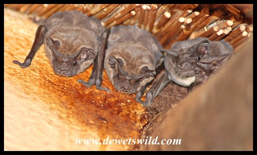 Bats roosting beneath the thatch at Mooiplaas' ablutions