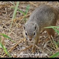 Doubt it was this squirrel that growled so ferociously at us at Mooiplaas!
