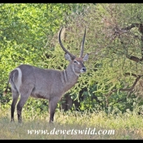 Waterbuck on the banks of the Letaba