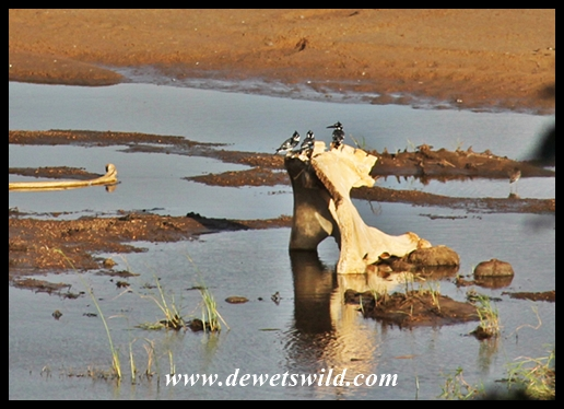 Trio of pied kingfishers sharing an elephant bone