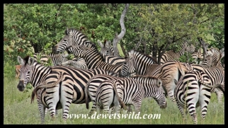A dazzle of zebra on the plains south of Pafuri