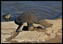 Bold, begging crocodile and terrapins near Olifants