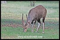 Bushbuck ram in Letaba