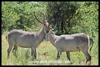 Waterbuck bulls sparring