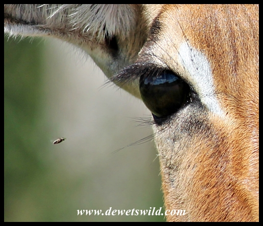Impala being targeted by a biting fly