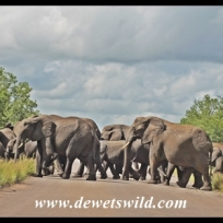 Elephants crossing near Punda Maria