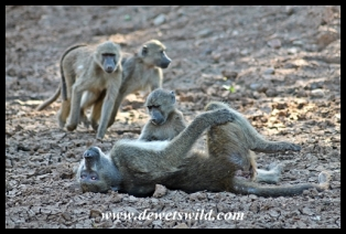 Baboon beauty treatment