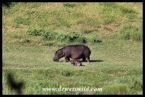 Chubby hippo calf and mom