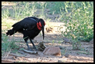 Ground hornbill and tortoise feast
