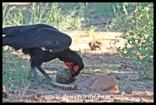 Ground hornbill and tortoise feast