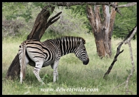 Zebra with a hard-to-reach itch