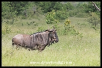 Blue wildebeest at Babalala