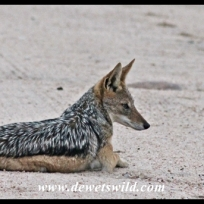 Black-backed jackal at the turnoff to Tamboti