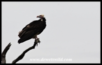 Rare and endangered white-headed vulture