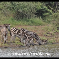 Plains zebra drinking from Nsemani Dam