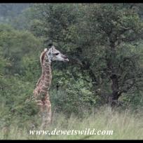 Giraffes near Nhlanguleni