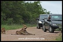 Lion pride near Crocodile Bridge in the Kruger National Park