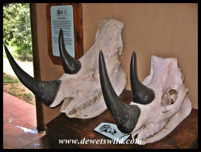 Rhino skulls on display