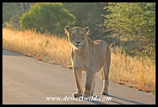 Lions between Orpen and Satara