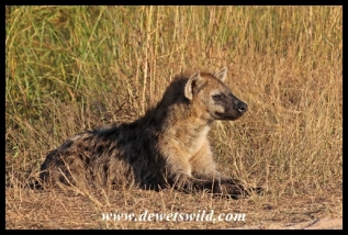 Spotted hyena near Afsaal