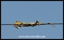 Chameleon trapeze act
